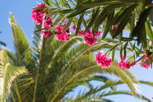 Oleander vid terrassen med den vackra palmen i bakgrunden!